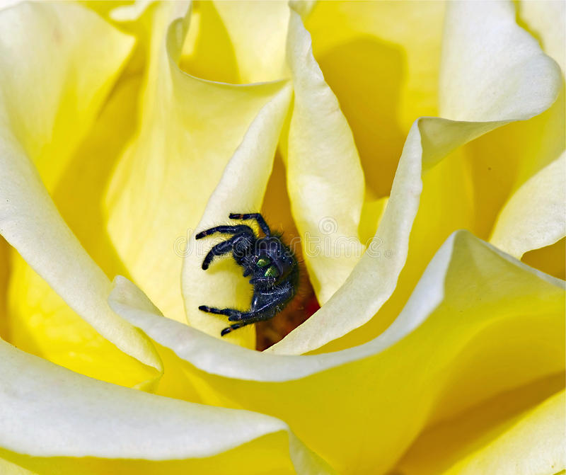 Gelbe Rose und springende Spinne stockbild