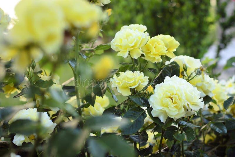 Gelbe Rosen stockfotos