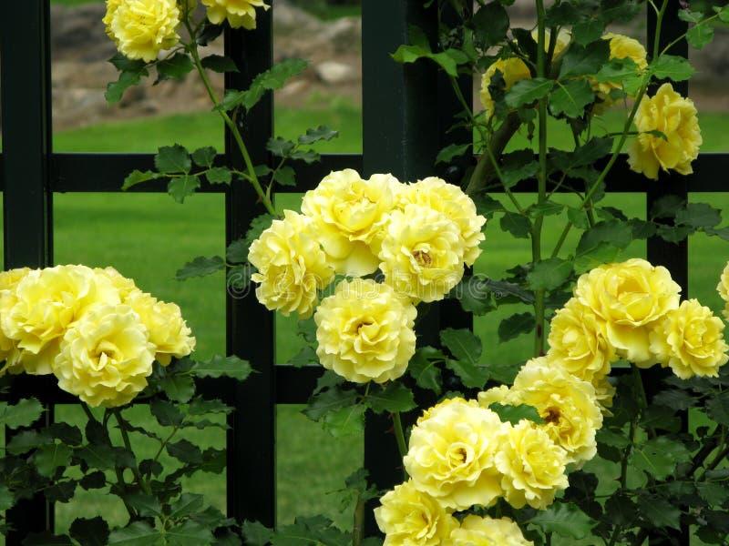Gelbe Rosen der Freundschaft stockbilder