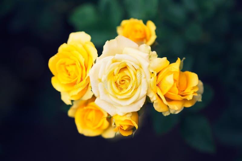 Gelbe Rosen im Garten, Draufsicht mit Dunkelheit verwischten Garten backgr stockbilder