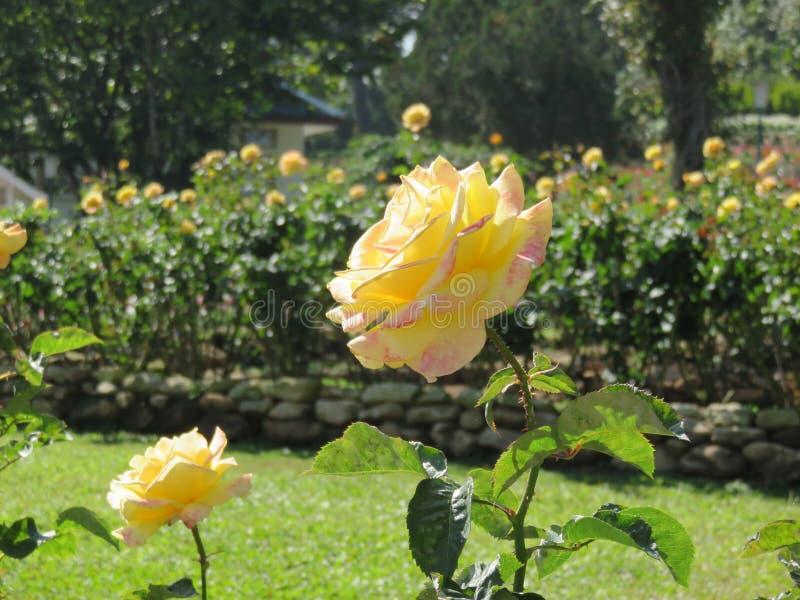 Gelbe Rosen mit grünen Blättern im Garten lizenzfreies stockfoto