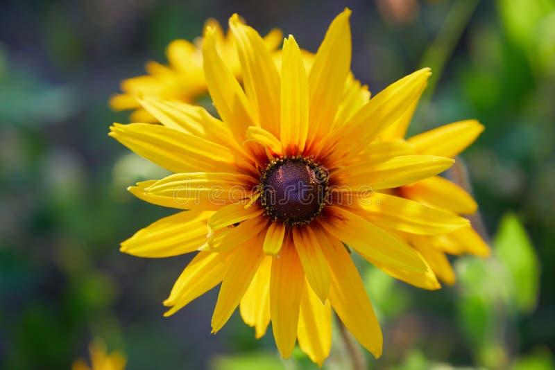 Gelbe Rudbeckia coneflowers, schwarz-gemusterte-susans Blumennahaufnahme lizenzfreie stockfotos