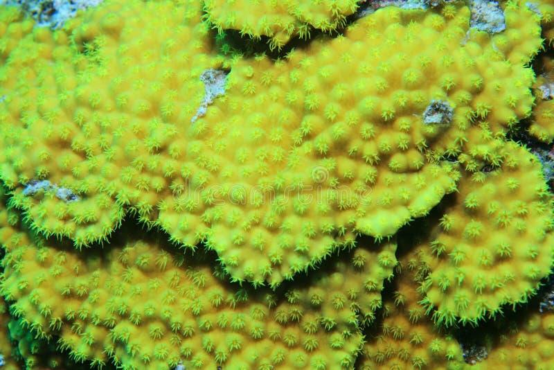 Gelbe Salatkoralle - corallo giallo del rotolo - reniformis di Turbinaria fotografia stock