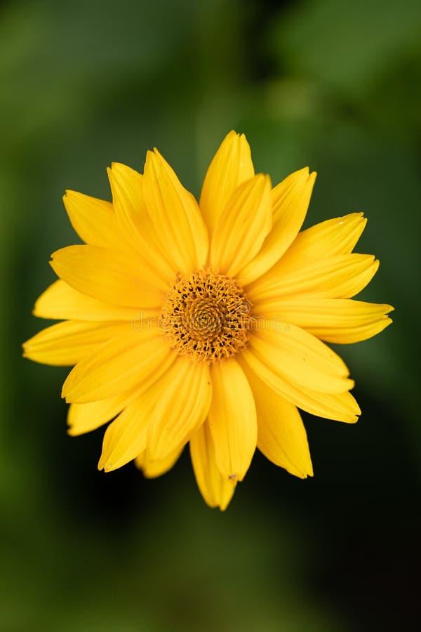 Gelbe schöne Blume auf grünem unscharfem Hintergrund Szenische Blume im Garten Schöne Blume für natürlichen Entwurf Blühendes Flo lizenzfreie stockfotografie