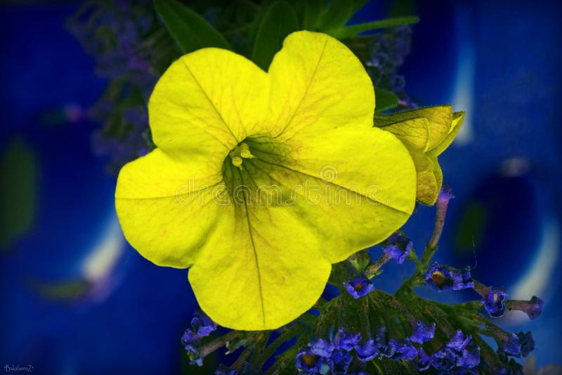Gelbe schöne Makroblume im blauen Hintergrund und Tapeten in den Spitzendrucken der hohen Qualität stockfotos