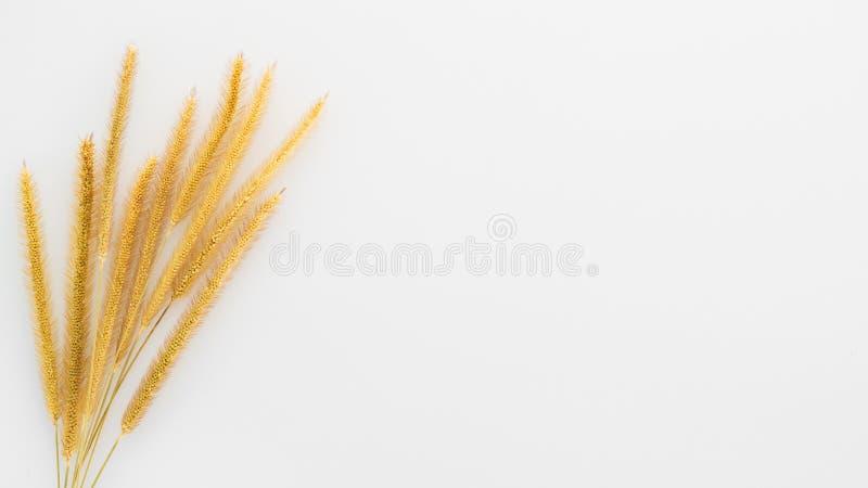 gelbe Schilfe der Grasanlage auf weißem Hintergrund mit Kopienraum lizenzfreie stockbilder