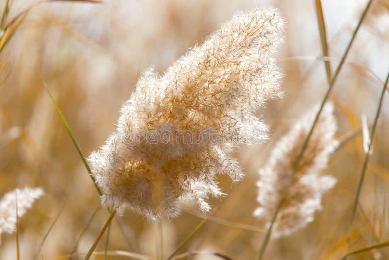 Gelbe Schilfe in der Natur im Herbst lizenzfreies stockbild