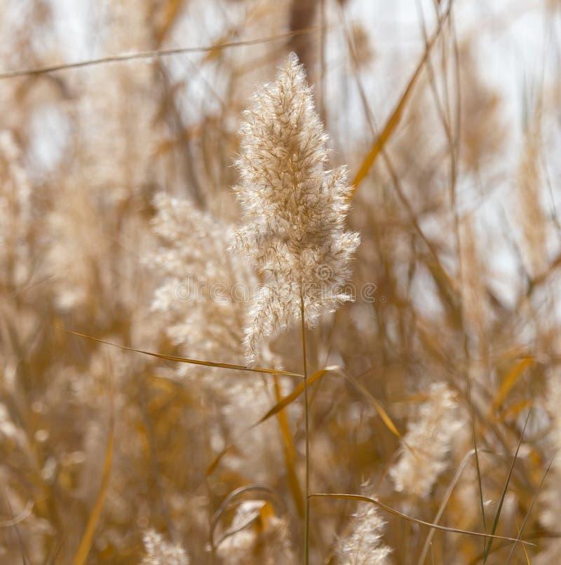 Gelbe Schilfe in der Natur im Herbst stockbild