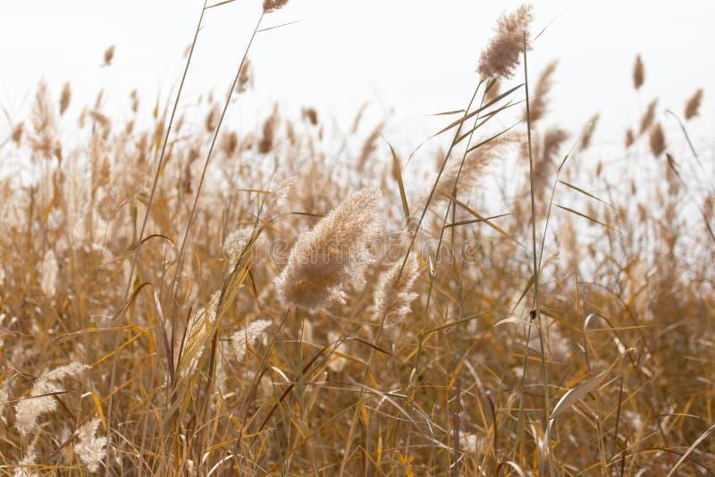 Gelbe Schilfe in der Natur im Herbst lizenzfreies stockfoto