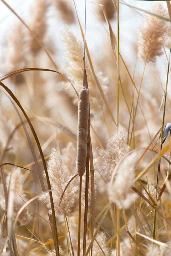Gelbe Schilfe in der Natur im Herbst stockfotografie