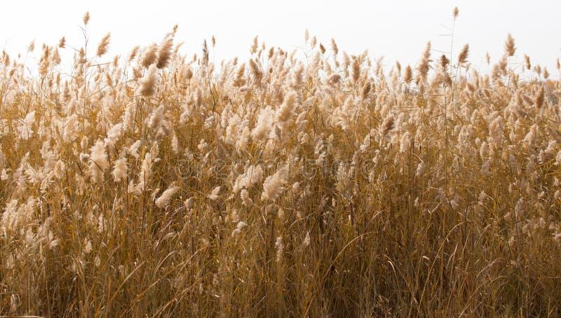 Gelbe Schilfe in der Natur im Herbst lizenzfreie stockfotos