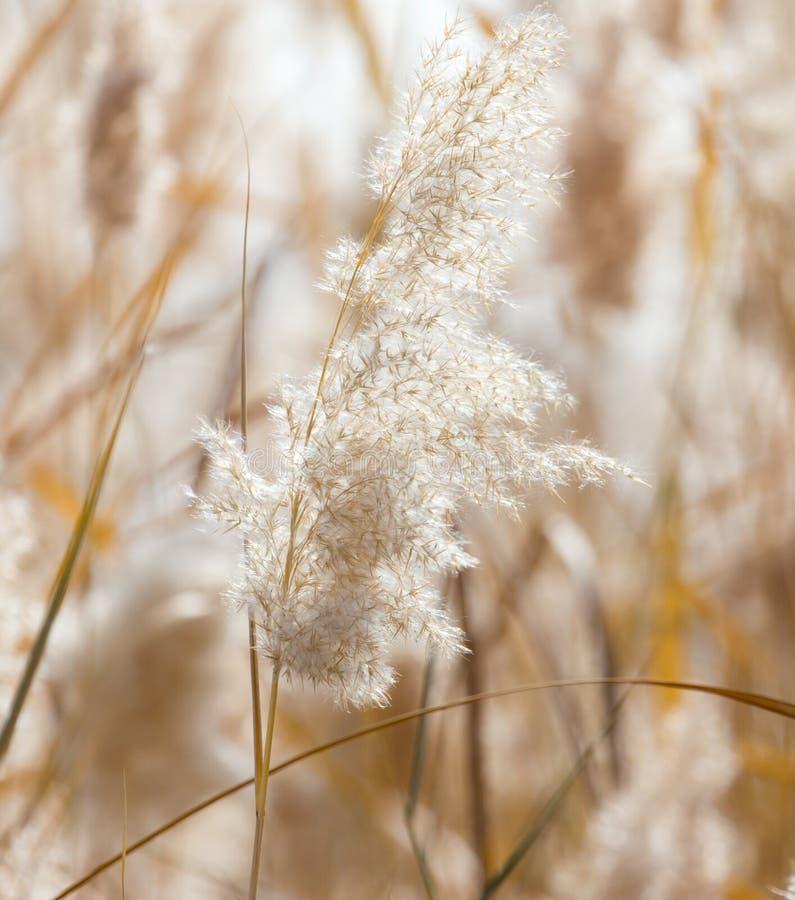 Gelbe Schilfe in der Natur im Herbst lizenzfreie stockfotografie