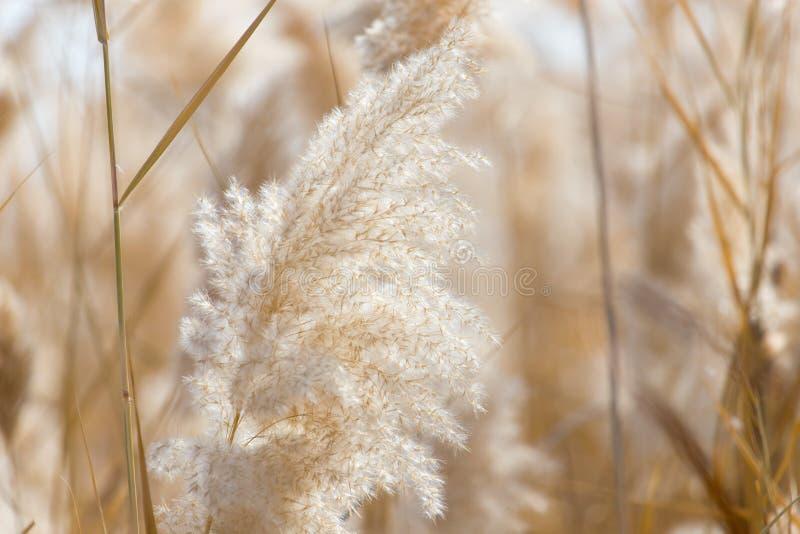 Gelbe Schilfe in der Natur im Herbst stockbilder