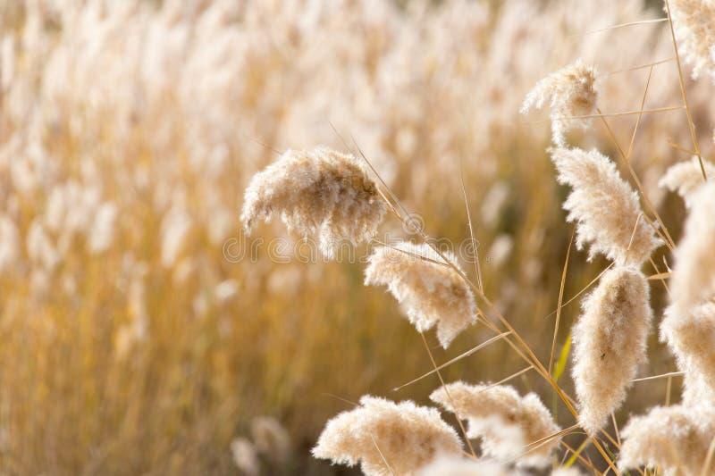 Gelbe Schilfe in der Natur im Herbst lizenzfreie stockbilder