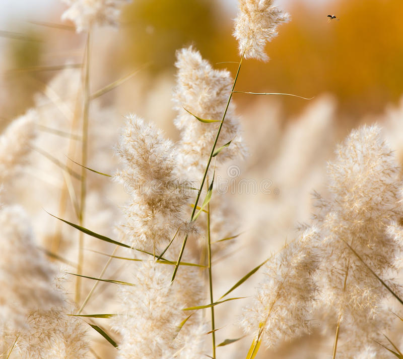 Gelbe Schilfe in der Natur im Herbst stockfoto