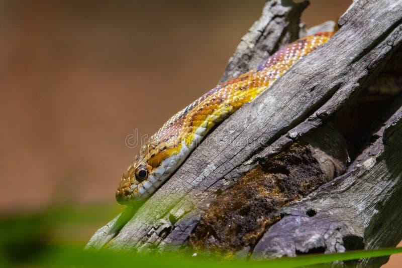 Gelbe Schlange, die auf einen Klotz sitzt lizenzfreie stockfotos