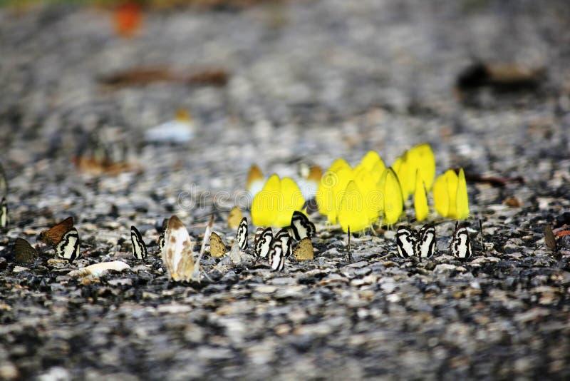 Gelbe Schmetterlinge ziehen aus den Grund ein lizenzfreie stockfotografie