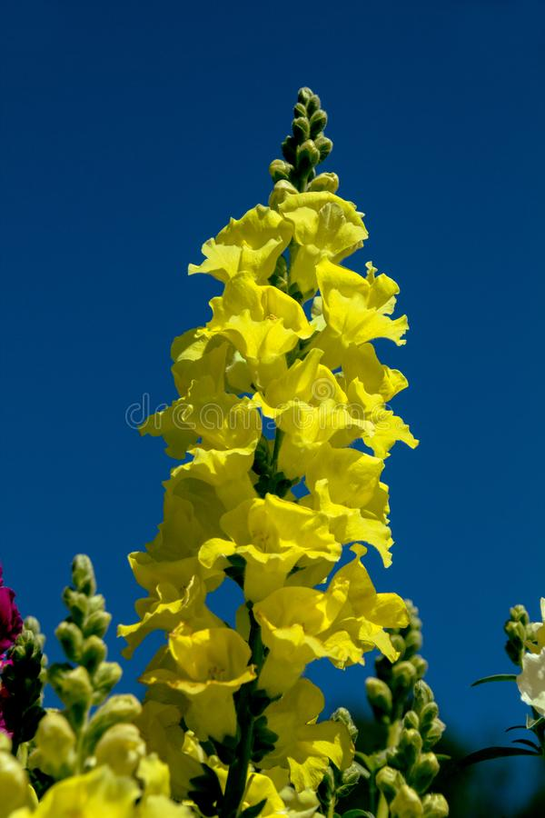 Gelbe Schnelldrache-Blume lizenzfreie stockfotografie