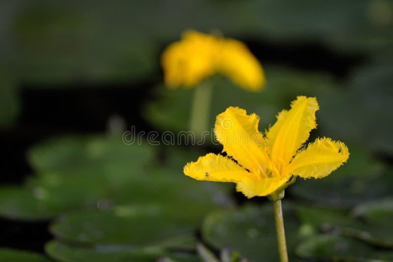 Gelbe sich hin- und herbewegende Herz Nymphoides-peltatum Blume auf Wasser stockbild