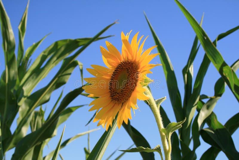 Gelbe Sonnenblume auf dem Maisgebiet stockfotografie