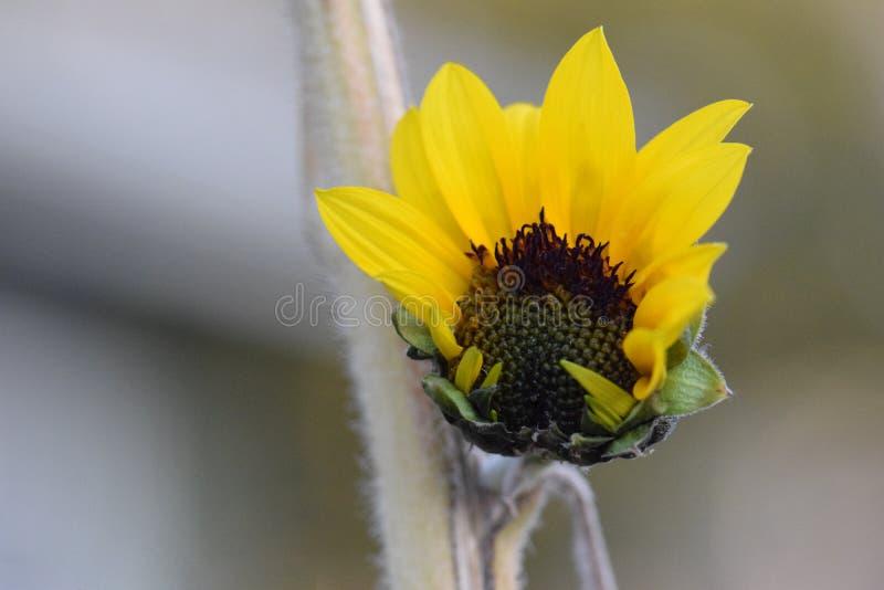 Gelbe Sonnenblume, die 04 öffnet lizenzfreie stockfotografie