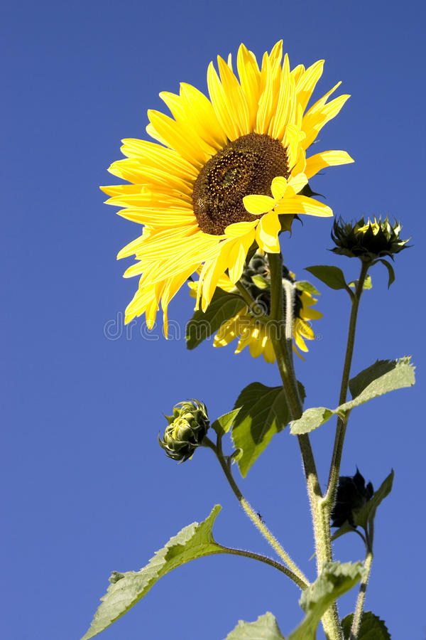 Gelbe Sonnenblume, die hoch steht. lizenzfreie stockfotos