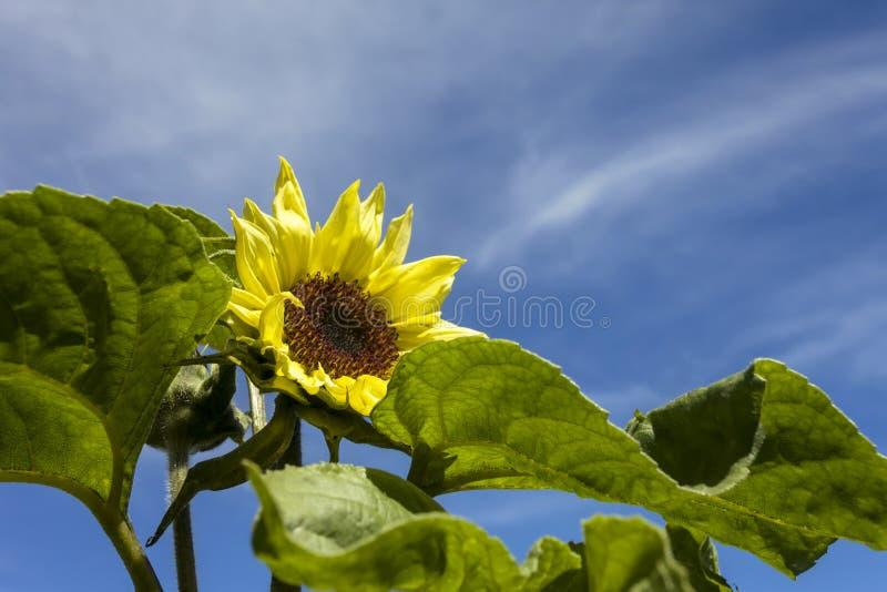 Gelbe Sonnenblume in einem botanischen Garten lizenzfreie stockfotos