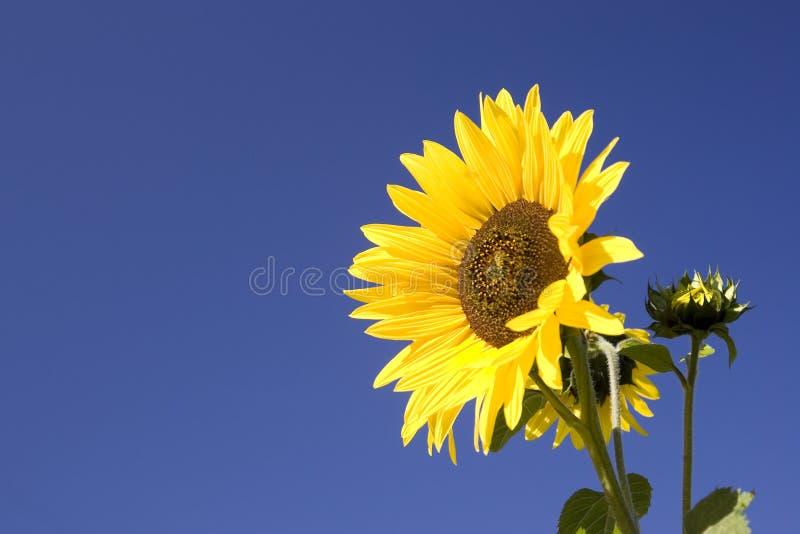 Gelbe Sonnenblume an einem sonnigen Tag. lizenzfreie stockfotografie