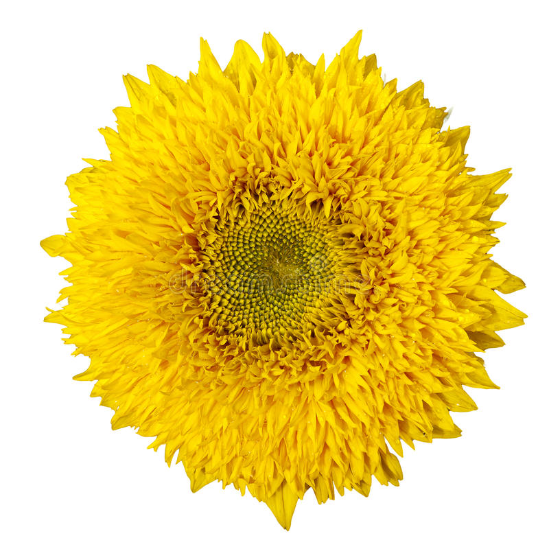 Gelbe Sonnenblume getrennt auf weißem Hintergrund lizenzfreie stockfotos
