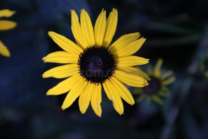 Gelbe Sonnenblume mit schwarzem Herzen in der Sonne im Garten in den Niederlanden stockfotografie