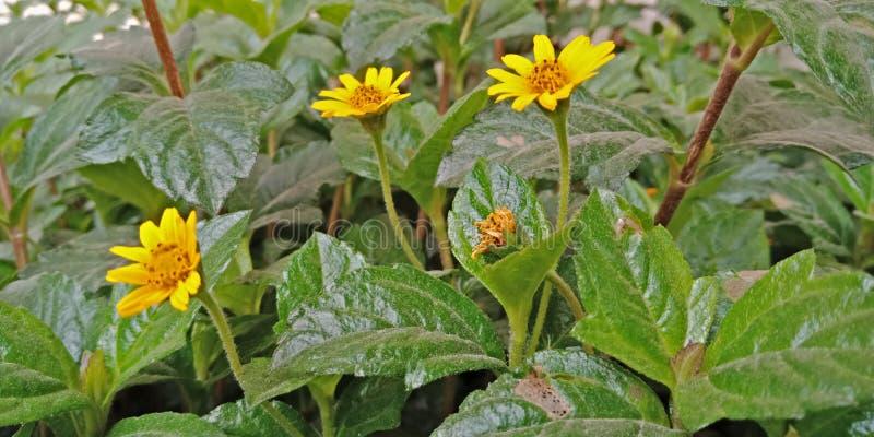 Gelbe Sonnenblume mit unscharfem Hintergrund stockbild