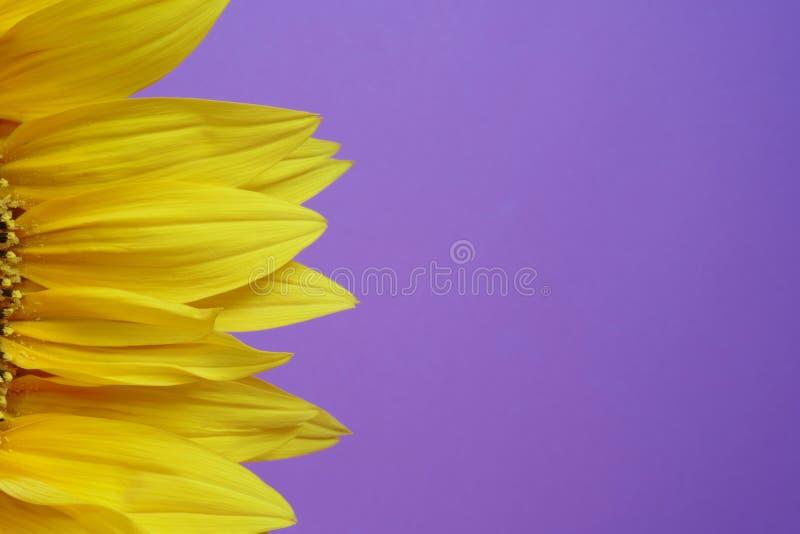 Gelbe Sonnenblume verlässt auf einem purpurroten Hintergrund mit leerem Raum der Kopie stockfotografie
