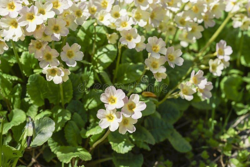 Gelbe sonnige erste Blumen lizenzfreie stockbilder