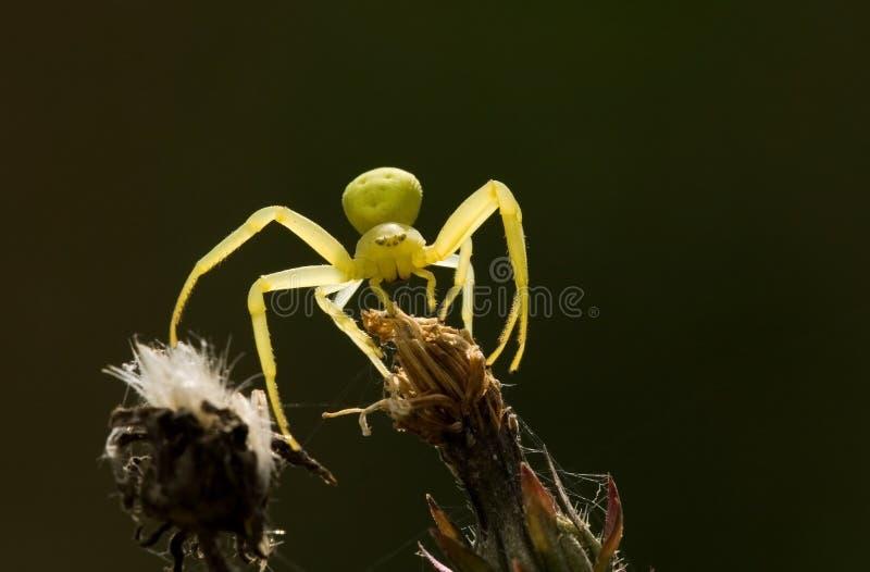 Gelbe Spinne lizenzfreie stockfotos