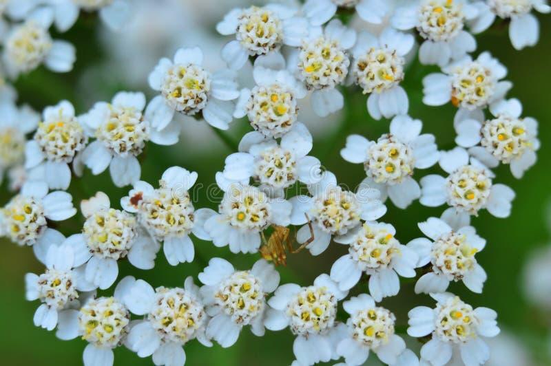 Gelbe Spinne auf Blumen von Schafgarbe Makro lizenzfreie stockbilder