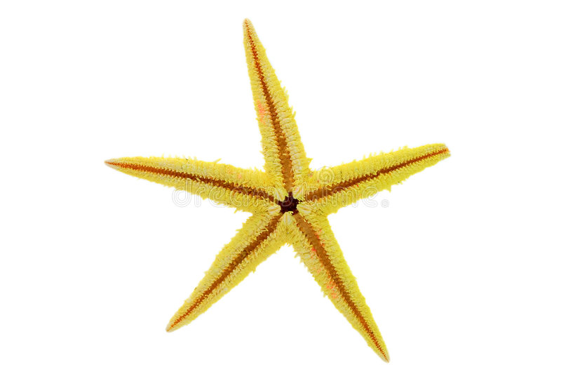 Gelbe Starfish stockbilder