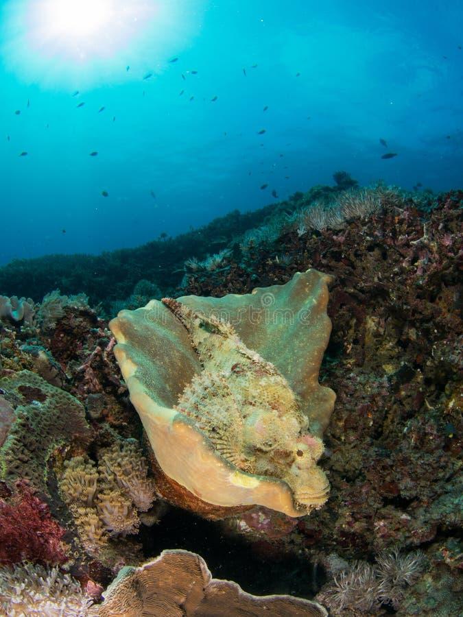 Gelbe Steinfische stockfotos