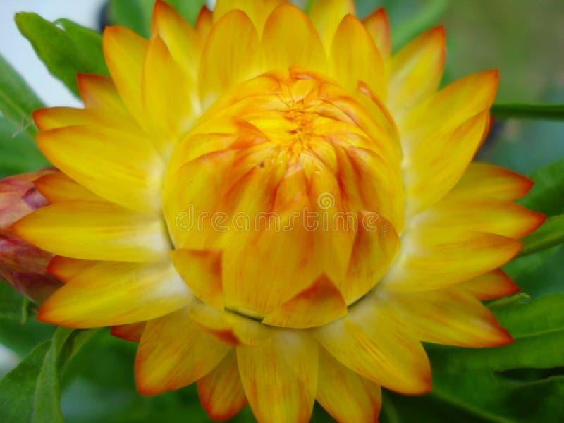 Gelbe Strohblume lizenzfreie stockbilder