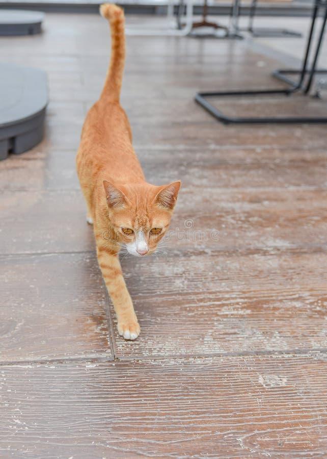 Gelbe Tabby Cat Walking lizenzfreies stockbild