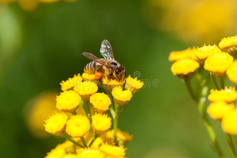 Gelbe Tansyblumen stockbilder