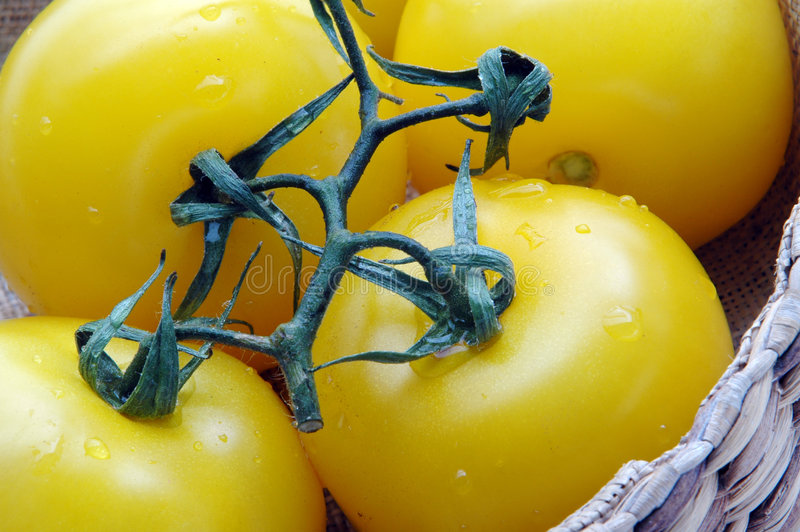 Gelbe Tomaten 1 stockfotos