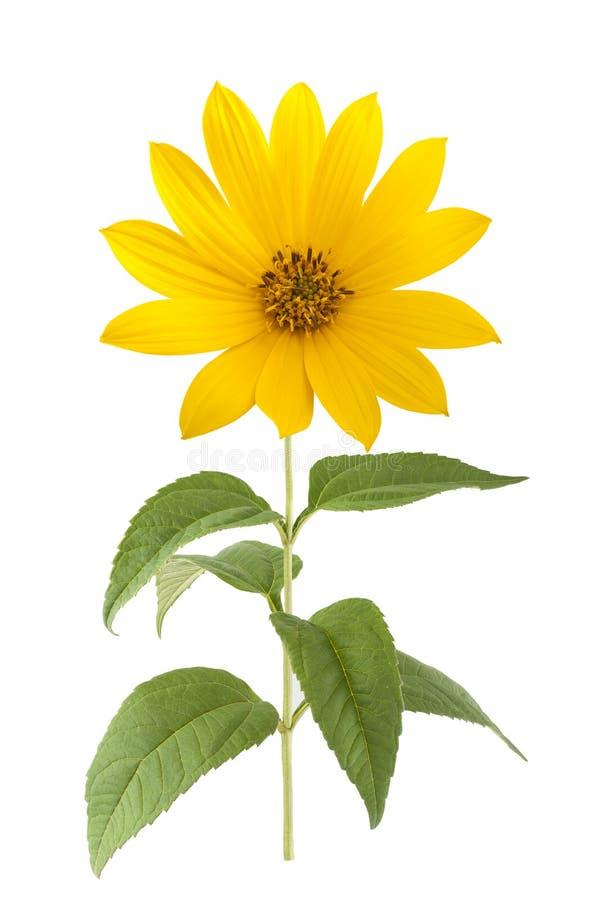 Gelbe topinambur Blumen stockbilder