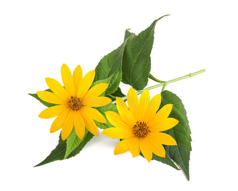 Gelbe topinambur Blumen stockfotografie