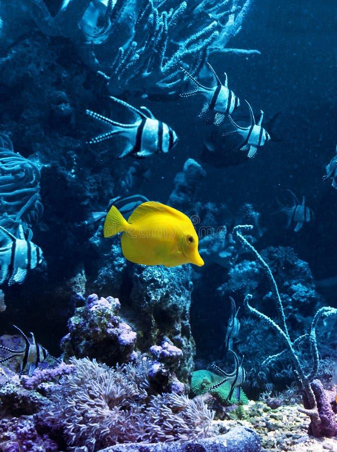 Gelbe tropische Fische im Blau stockfoto