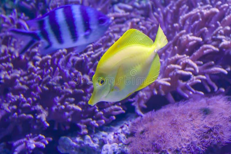 Gelbe tropische Fische im Korallenriff lizenzfreies stockbild