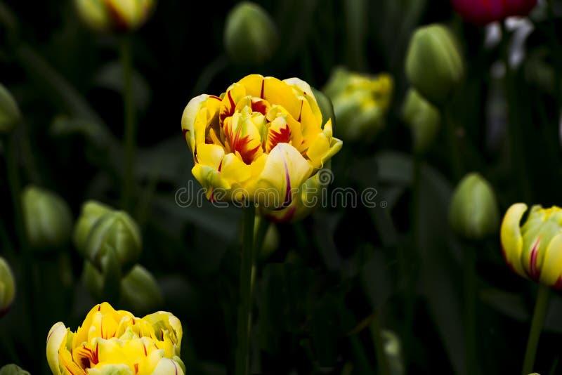 Gelbe Tulpe lizenzfreie stockfotografie