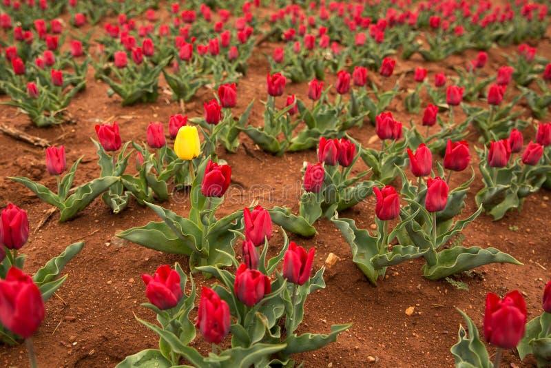 Gelbe Tulpe im Frühjahr stockfoto