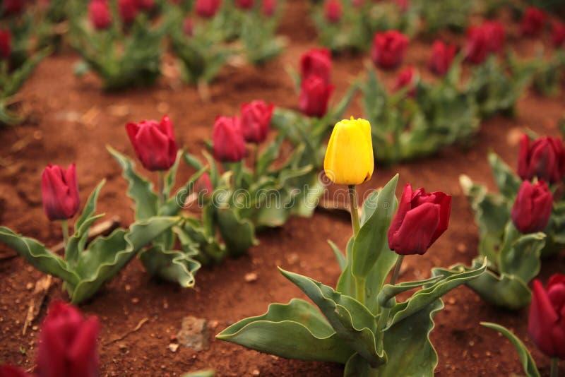 Gelbe Tulpe im Frühjahr stockfotos