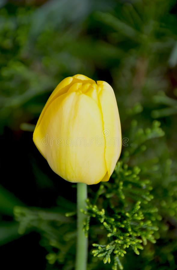 Gelbe Tulpe in Zypresse-Strauch stockbilder
