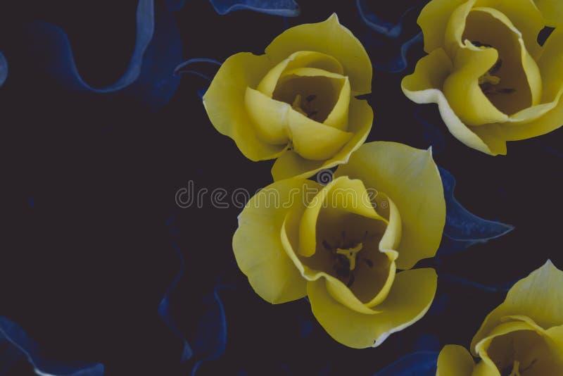 Gelbe Tulpeblumen lizenzfreie stockbilder